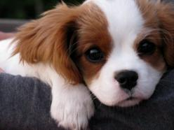 Cavalier King Charles Spaniel - aka Lady from Lady and the Tramp.: Animals, Sweet, Dogs, Pet, Charles Cavalier, Puppy, Cavalier King Charles, King Charles Spaniels