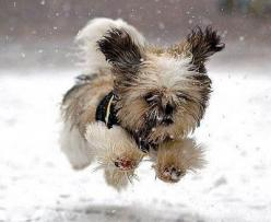 cute. Shih Tzu?  Reminds me of my first shih tzu Alex.  Love those dogs.  She loved the snow like this and so does my 2nd shih tzu I currently belong to, Sadie Mae.: Animals, Dogs, Snow, Pets, Funny, Puppy, Shih Tzu, Things