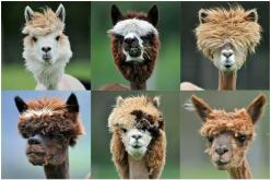 Emo alpacas. if only I had seen these guys on the Inka Trail in Peru. MAN.: Farm, Flames, Hairstyles, Animals, Llama Haircuts, Funny, Alpacas, Hair Style