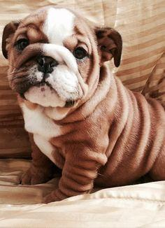 English Bulldog puppy -- look at those wrinkles! ALMOST as beautiful as my Chloe bully love. :3: Animals, Englishbulldog, English Bulldog Puppies, English Bulldogs, Box, Baby, English Bull Dog, Bull Dogs