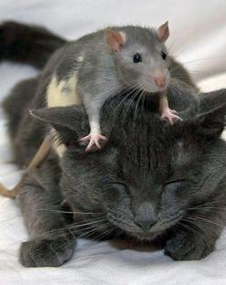 Friends (DS): Mice, Cats, Animals, Friends, Pets, Funny, Rats, Photo, Black Cat