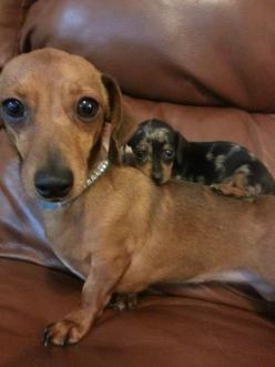Hangin out with moma: Animals, Sweet, Dogs, Pet, Doxies, Puppy, Baby