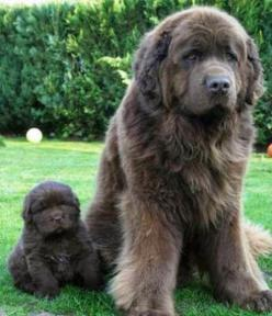 I can't handle how precious that little puppy is! 5 Dog Breeds For kids, click the pic to see all: Doggie, Newfoundland Dogs, Animals, Pet, Puppy, Baby, Big Dogs, Friend