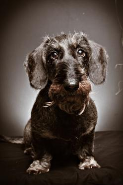 is there no end to the doxies and the different kinds , colors coats and styles..may be the most diverse breed there is..love them all: Dogs, Dachshund, Colors Coats, Kinds Colors, Photo, Hair Doxie, Animal