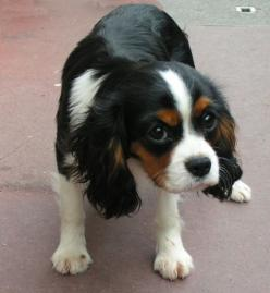 King Charles Cavalier.  Maybe we could get one of these.  So precious with the coloring on this one.: Dogs Animals Puppies, Pets, Cavaler King Charles 600 Jpg, Baby Dogs, Cavalier King Charles, King Charles Cavalier, Animal King, King Charles Spaniels