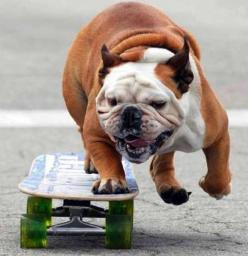 PetsLady's Pick: Funny Skateboarding Dog Of The Day  ... see more at PetsLady.com ... The FUN site for Animal Lovers: Petslady S Pick, Animal Lovers, Animals Dogs, English Bulldogs Funny, Funny Skateboarding, Skateboarding Dog, Funny English Bulldogs