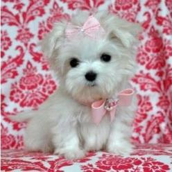 Precious #morkie #dogs #cute: Doggie, Animals, Dogs, Sweet, Pet, Puppys, Pink Bows, Teacup Maltese Puppies