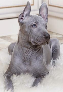 Thai Ridgeback is an ancient dog breed formerly known only in Thailand. They have a line of hair running along the back in the opposite direction to the rest of the coat. They are intelligent, muscular, strong, agile, loyal, positive and loving family pet