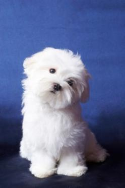 what a cute maltese : ) miss my little Kirby!  Me too. This pic reminds me of : Miss my snoopy 6/06 & Dusty 9/14- They was a great picture posers:): Maltese Dogs, Picture Poser, Maltese Puppies, Sweet, Maltese Puppy, Pet, Animal