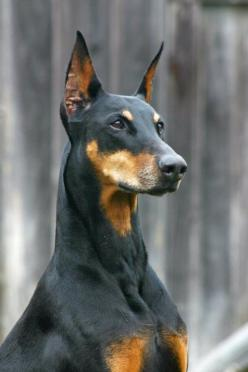 2nd Ave & Seneca St.: Animals, Dogs, Doberman Pinscher, Pet, Era, Dobermans, Doberman Pincher, Friend