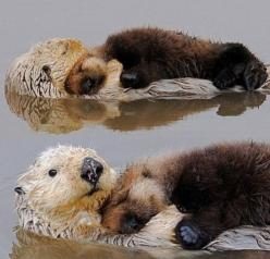 """otter pups, sleeping on their moms"""