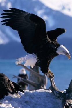 American Eagle..Pray for our Nation and it's leaders to earnestly turn to God for His guidance in leading our nation.