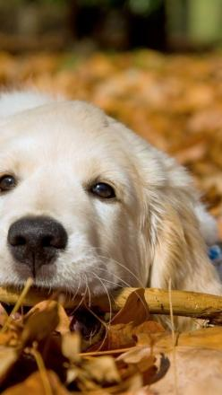 An animal's eyes have the power to speak a great language. ~Martin Buber via EVOLVE! Campaigns: White Golden Retriever, Golden S, Golden Retrievers, Dog S, Friend, Golden Retriever Puppies, Golden Retriever