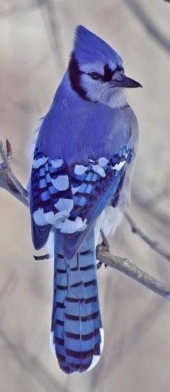 Blue Jay, in all his glory... Ever notice how they announce your presence in the woods?: Beautiful Blue, Blue Jays, Beautiful Birds, Photo, Animal