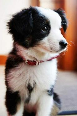 Border Collie puppy | smartest dogs in the world | wise beyond its years