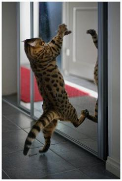 Cat is fighting with her image while looking in mirror ... (click on picture to see more stuff): Mirror, Kitty Cats, Animals, Bengal Cat, Funny, Chat, Feline