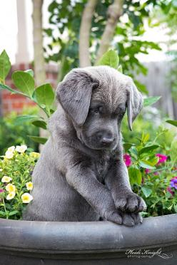 {Charcoal Labrador Puppy} I know I am dog crazy but this is the puppy I want!!!! More than any... ❤: Labrador Retriever, Doggie, Charcoal Lab, Puppys, Lab Puppies
