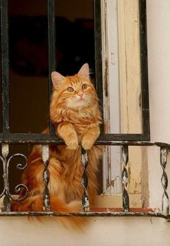 Chat ~ Cat....and various #information about #cats...www.thecatniptimes.com: Kitty Cats, Beautiful Cat, Orange Cat, Kitten, Animals, Window, Pet, Kitty Kitty