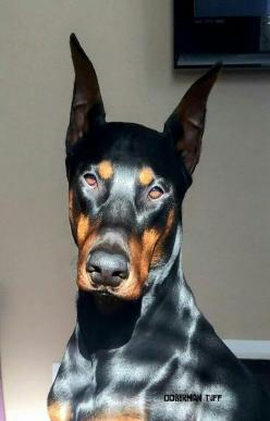 "#Doberman. It reminds me of Brock Rumlow, or Crossbones, from Captain America the Winter Soldier. He has feelings, but has been trained out of them, and does his job dispite them. ""Cap, I sware, it's nothing personal."""