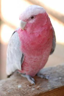 Galah - Also known as the Rose-breasted Cockatoo. It can be found in almost all parts of Australia.: Rose Breasted Cockatoo, Animals, Color, Beautiful Birds, Pink Bird