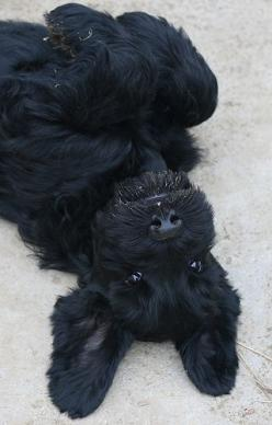 giant schnauzer pup! Mine crawls half out from under my chair and does this! They are so goofy :)