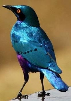 Greater Blue-Eared Glossy Starling from Africa: Color, Beautiful Birds, Africa, Greater Blue Eared, Animal, Blue Eared Glossy