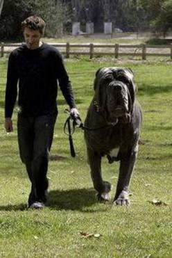 Hercules is an English Mastiff and who has a 38 inch neck and weighs 282 pounds.and I want him: Doggie, Huge Dogs, Worlds Biggest Dog, Animals Pets, Mastiff Dogs, English Mastiffs, Big Dogs, Furry Friends, 282Lbs