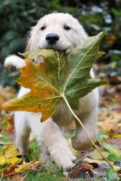 I found da biggest, bestest one!: Golden Retrievers, Puppy Love, Autumn Leaves, Big Leaf, Golden Retriever Puppies, Socute, Furry Friends, Adorable Animal, Golden Retriever