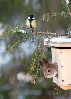 I love this little European BlueTit and the  Red Squirrel. Sweet!!: Animals, Winter, Squirrels, Nature, Birdhouse, Funny Animal, Birds, Friend