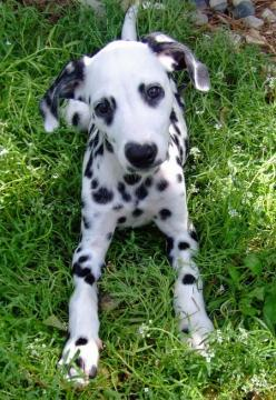 I've always wanted a dalmation….kind of obsessed ever since the Cruella DeVille days