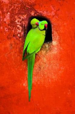 Indian ringnecks: Animals, Parrots, Family Portraits, Ringed Parrot, Roses, Beautiful Birds, Baby