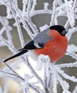 Just a cute little Bullfinch... they always look like they are going to pop!: Beautiful Bullfinch, Adorable Bird, Birds Birds, Winter Colors, Beautiful Color, Beautiful Birds, Bullfinch Lovely Bird
