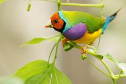 Lady Gouldian Finch, sooo beautiful!