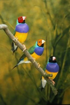 Male Gouldian Finches sitting on a branch - photo from AWC and Optus;  Both sexes are brightly colored with black, green, yellow, and red markings. The females tend to be less bright. One major difference between the sexes is that the male's chest is
