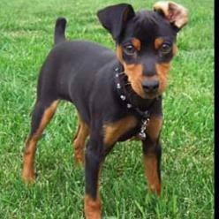 Min Pin!!  My dog's ear always flips back like this. I'm so glad his ears weren't cropped; they're so cute:)