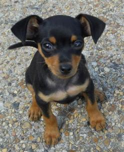 My pick - miniature pinscher with floppy ears and full tail!
