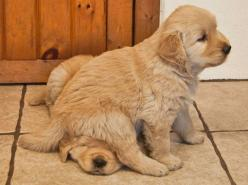 no biggie just a puppy sitting on another puppy's head .. Golden Retriever puppies: Sit, Puppies, Animals, Dogs, Golden Retrievers, Pets, Puppys, Funny