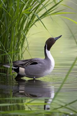 Northern Pintail by Joe Motohashi*: Waterfowl, Poultry, Country Living, Ducks, Beautiful Birds, Photo, Animal