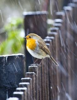 Olha o que Deus faz com luz e cores...canto e chuva!: Animals, Nature, Little Birds, Birdie, Robins, Beautiful Birds, Rainy Days