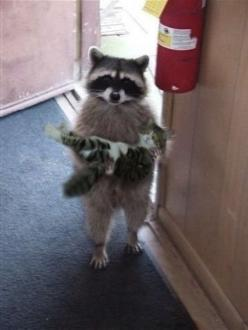 Raccoon carrying a Cat