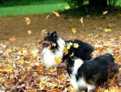 Shelties. I miss my Savannah Bleu...I wish I could go back in time and show her as much love as I show my dogs now :(