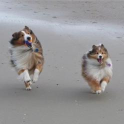 Shelties just want to have fun