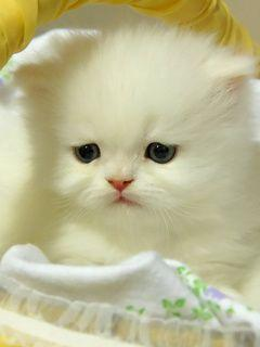 Soft kitty, warm kitty, little ball of fur....  Aahh...I want one.