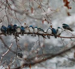 Swallows in a Snowstorm by kdee64, via Flickr: Photos, Swallows, Animals, Winter, Nature, Blue, Beautiful, Birds