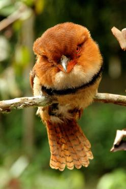 The Collared Puffbird (Bucco capensis) is a sit-and-wait hunting bird found across the northern region of South America in the Amazon Basin, southern Colombia and Venezuela, and the Guianas.: Puffbird Bucco, Poultry, Collared Puffbird, Animals Birds, Beau