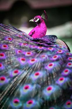 The colours of this peacock are beautiful-great inspiration for a DIY marbling project.: Animals, Peacocks, Pink Peacock, Color, Birds, Purple Peacock, Beautiful Peacock