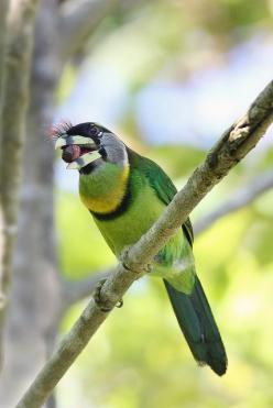 The Fire-tufted Barbet (Psilopogon pyrolophus) is a species of bird in the family Megalaimidae. Its genus, Psilopogon, is monotypic. It is found in Indonesia and Malaysia.