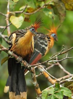 The Hoatzin (Opisthocomus hoazin), also known as the Hoactzin, Stinkbird, or Canje Pheasant, is a species of tropical bird found in swamps, riverine forest and mangrove of the Amazon and the Orinoco delta in South America. It is notable for having chicks