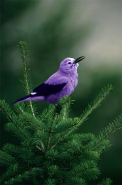 Thought of the little bird that wakes Cinderella up when I saw this ^_^ <3: Purple Bird, Nature, Purple Passion, Things Purple, Pretty Birds, Color Purple, Beautiful Birds, Animal