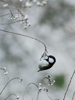tiny #bird ~ Maine state bird, Chickadee. I didn't know it was Maine's bird, but it sure is present in Pennsylvania.